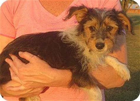 yorkie rochester ny adopted puppy rochester ny yorkie terrier sheltie shetland