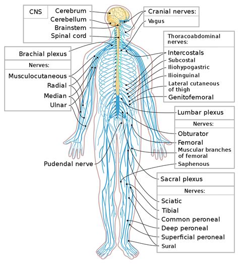 diagram of central and peripheral nervous system spinal cord