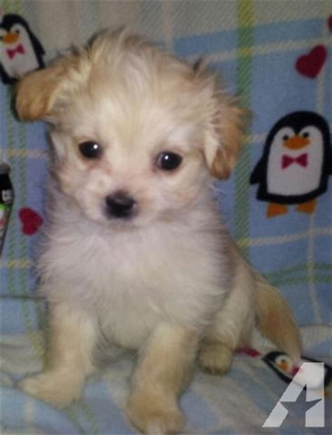 miniature maltese shih tzu tiny adorable malshipoos maltese shih tzu poodle for sale in grass lake michigan