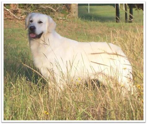 golden retriever puppies for sale houston tx area faded ash golden retrievers golden retriever breeder houston