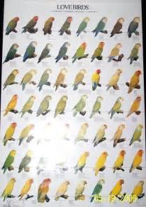 lovebird colors flying gems aviary lovebirds