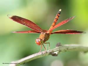 Red Spider Flower - the red grasshawk dragonfly neurothemis fluctuans
