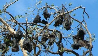 volpe volante australiana a scuola di immunit 224 dai pipistrelli zanichelli