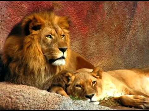imagenes de leones vs tigres leones y tigres youtube