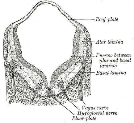 Transverse Section Of Medulla Oblongata by Illustrations Fig 647 Gray Henry 1918 Anatomy Of The