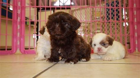 imperial shih tzu puppies for sale in ga handsome teacup chocolate shih tzu puppies for sale in atlanta at puppies for sale