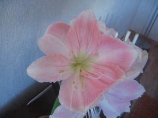fiore natale natale fiore fiore scaricare foto gratis