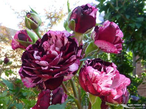 Buy Roses by Magdas 174 Floribunda Buy At Agel