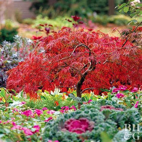image gallery japanese maple varieties