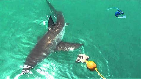 stingray boats vs stingray vs 23 foot great white shark youtube