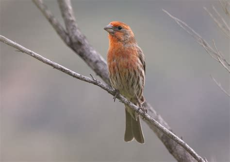 house finch calls house finches