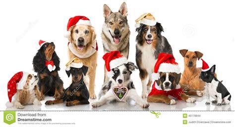 christmas dogs stock photo image