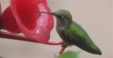 best 28 when do hummingbirds return to nc rufous