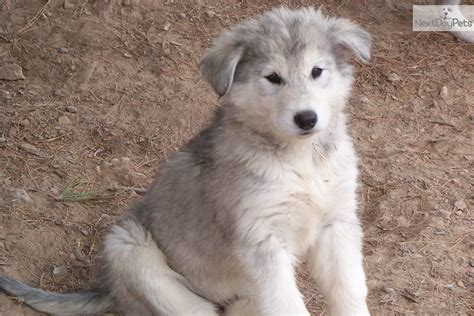 wolf hybrid puppies for sale wolf hybrid puppies for sale image search results