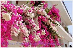 Beautiful Climbing Plants - beautiful bougainvillea vines the world of fun cutee group