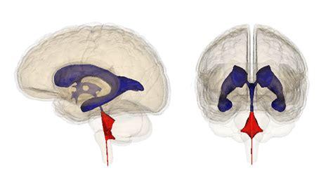 cuarto ventriculo ventr 237 culos cerebrales anatom 237 a funciones y enfermedades