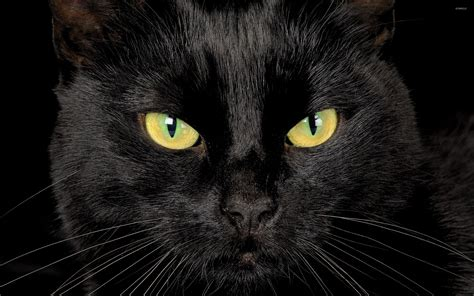 black cat black cat with yellow wallpaper animal wallpapers