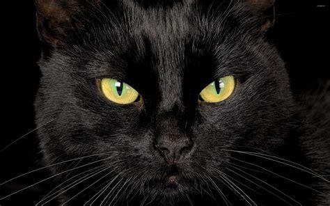 wallpaper yellow cat black cat with yellow eyes wallpaper animal wallpapers