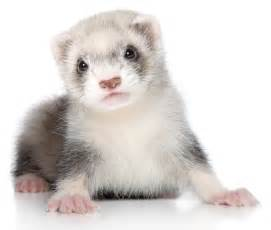 ferrets as pets for sale images