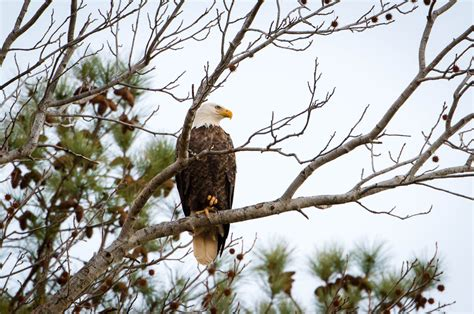 eagles at conowingo dam wp3 photography
