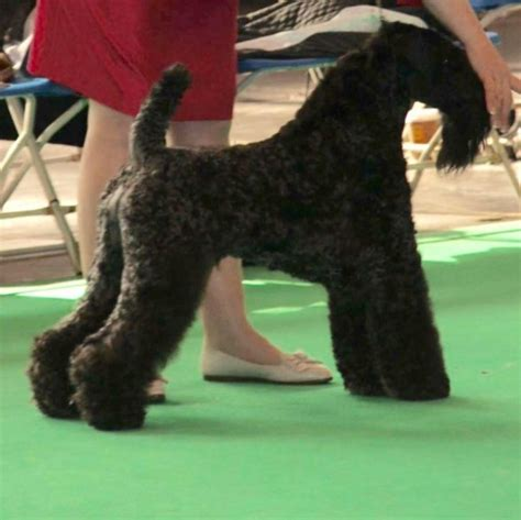 kerry blue terrier puppies for sale kerry blue terrier puppies for sale bradford west pets4homes