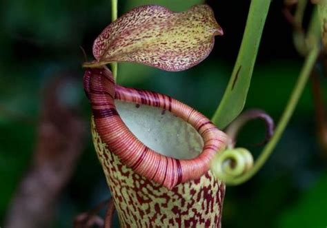 what plants grow in a tropical rainforest highland tropical pitcher plant growing in the rainforest