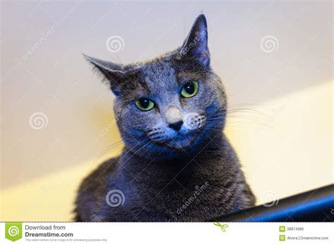 blue breed russian blue breed cat stock photo image 38874986