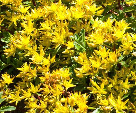 fiori tappezzanti piante tappezzanti sempreverdi
