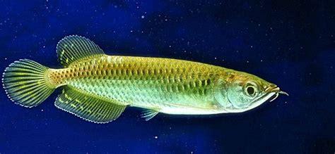 jenis dan harga ikan arwana binatang peliharaan