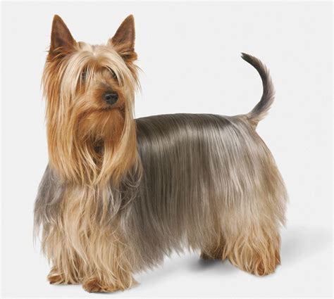 silky terrier with haircut silky terrier dog breed profile
