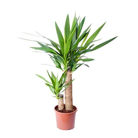 yucca palme für draußen yucca 2 cannes plantes et jardins
