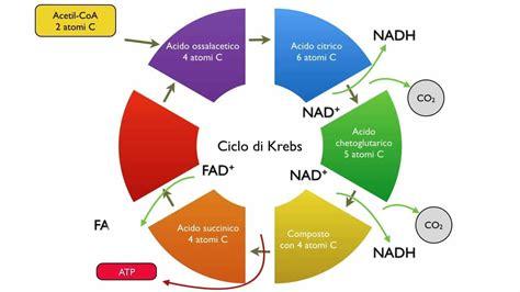 test prima ciclo ciclo di krebs 5 elementi da ripassare in vista test