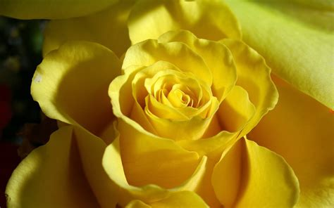 free wallpaper yellow roses wallpapers yellow rose wallpapers