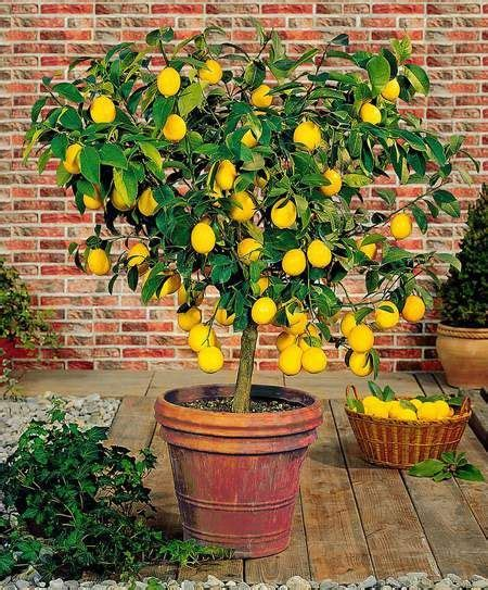 1000 ideas about indoor fruit trees on