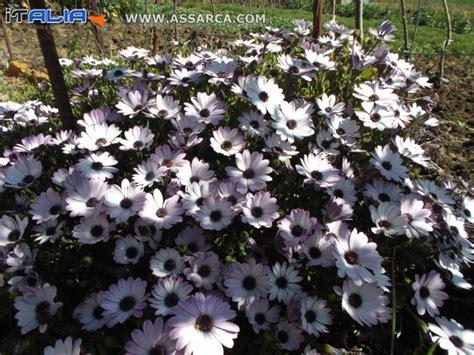 san carlino fiore i fiori di san carlino natura piante ed animali