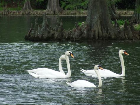 swan swimming swans swimming pics4learning
