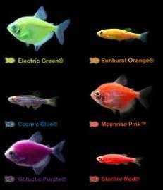 glofish colors meet glofish 174 on aquarium galleries and