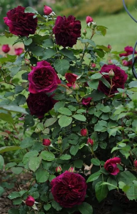 David Patio Roses by 25 Best Ideas About David Roses On
