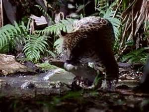 What Eats A Jaguar In The Rainforest Jaguar Vs Croc