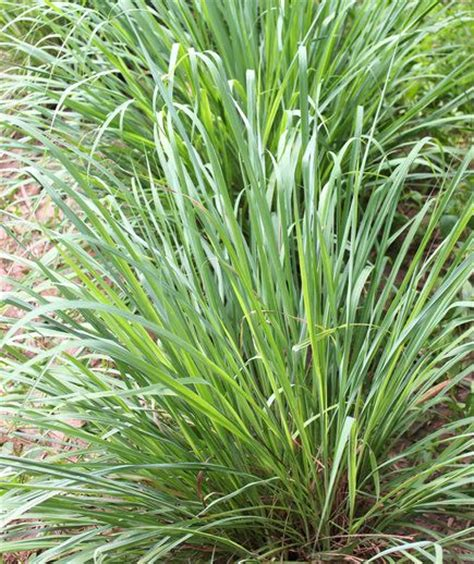 citronella plants that repel bugs and the bug on pinterest