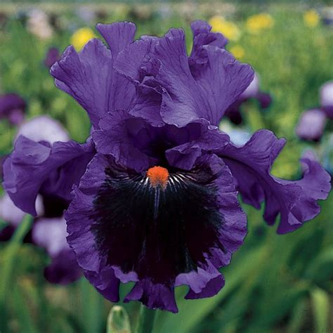 reblooming tall bearded iris pagan dance garden of whimsy pintere