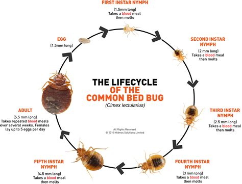 life cycle of bed bugs bed bugs extension entomology