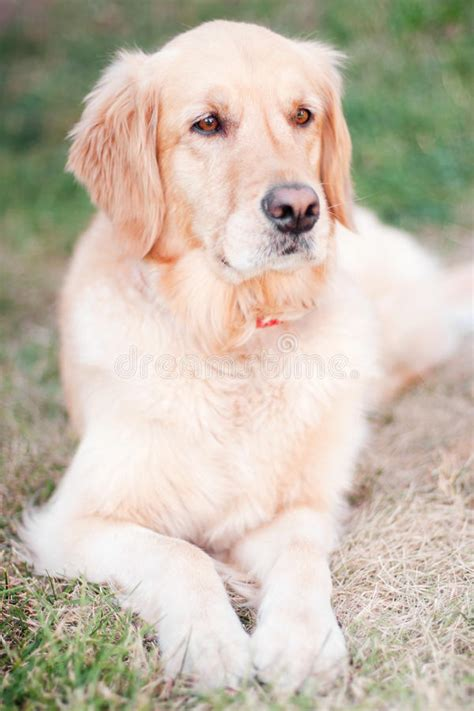 purebred golden retriever price purebred golden retriever stock photography image 26747632