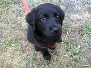 small lab is my puppy too small labrador vet black diarrhea