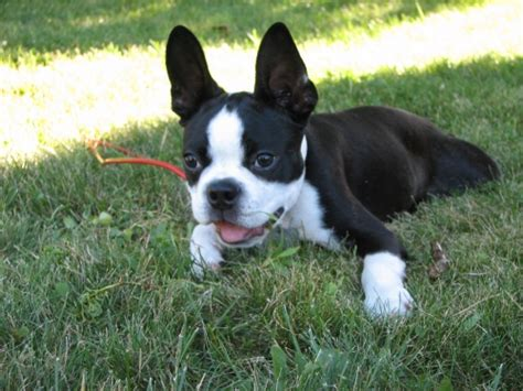 Boston Terrier Simple English The Free