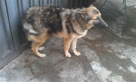 do boy dogs my gsd is refusing to mate with dogs what should i do photos pets