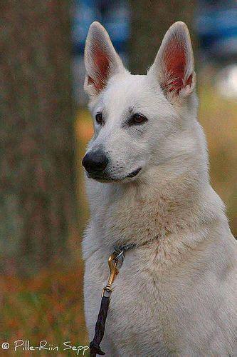 white german shepherd puppies michigan 17 best ideas about white german shepherds on shepherd puppies pets and