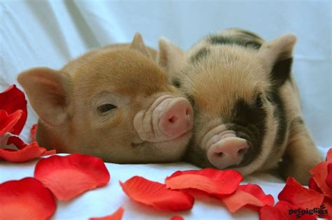 valentines pig images of 39 s day pigs