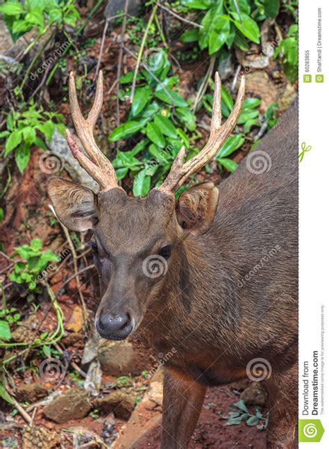 buck stag trophy whitetail buck deer stag stock photo image 60283855