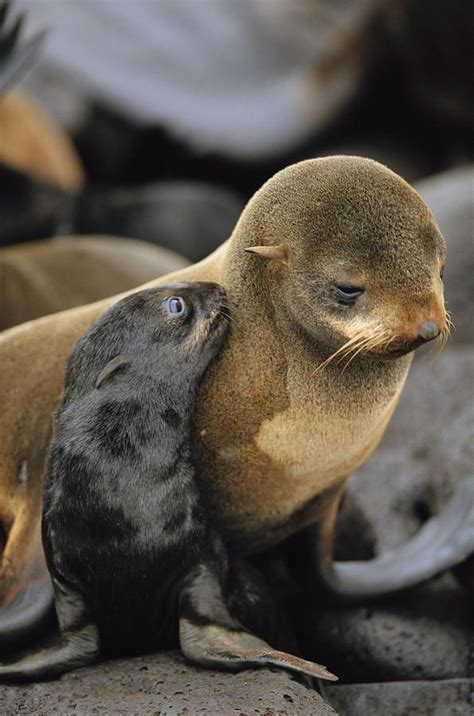 Seal Is Simply Amazing by 31 Best Images About Seals And Other Pups On